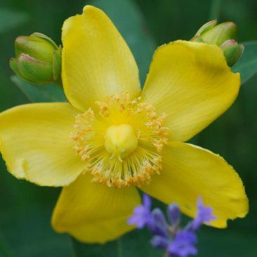 Blütendetail sonniger Standort
