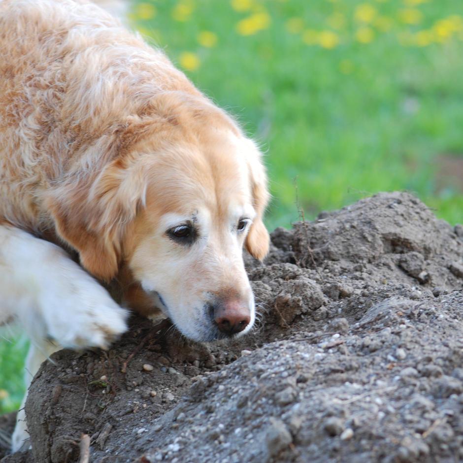 Bodenprobe - Hund gräbt im Erdhaufen