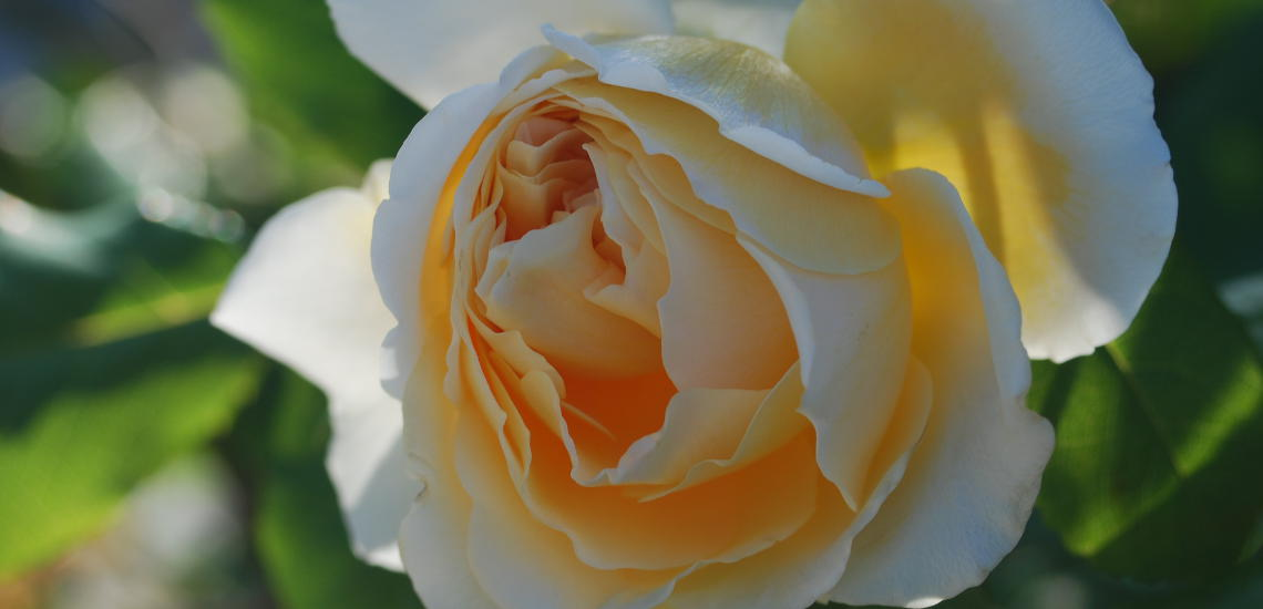 Detailaufnahme einer gelben Rosenblüte