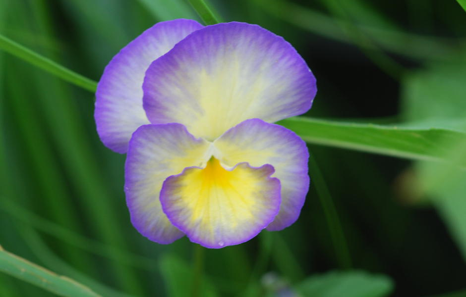 Detail Blüte Stiefmütterchen