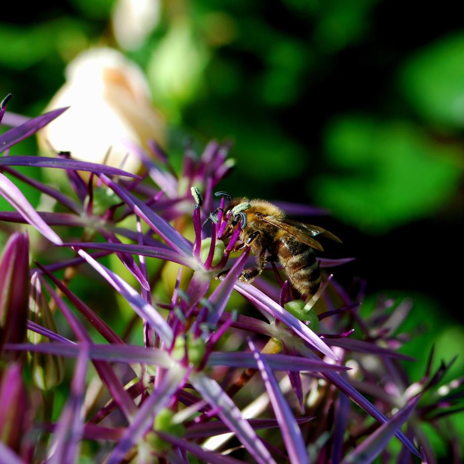 Honigbiene auf Zierlauch