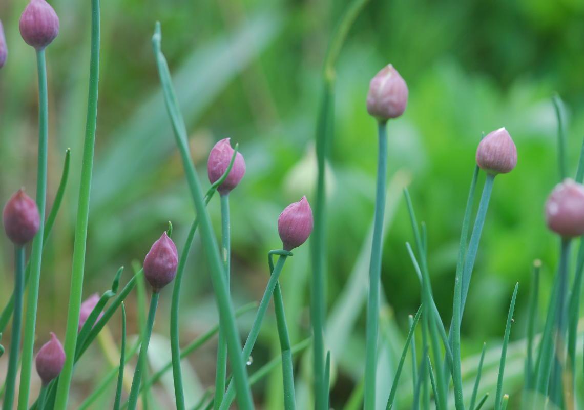 Schnittlauchblüten in Nahaufnahme