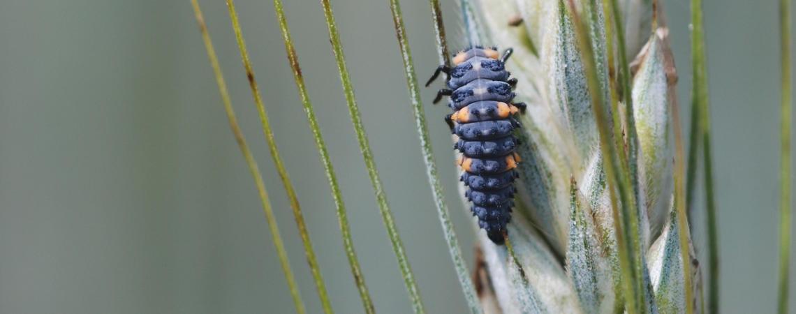 Marienkäferlarve auf einer Getreideähre