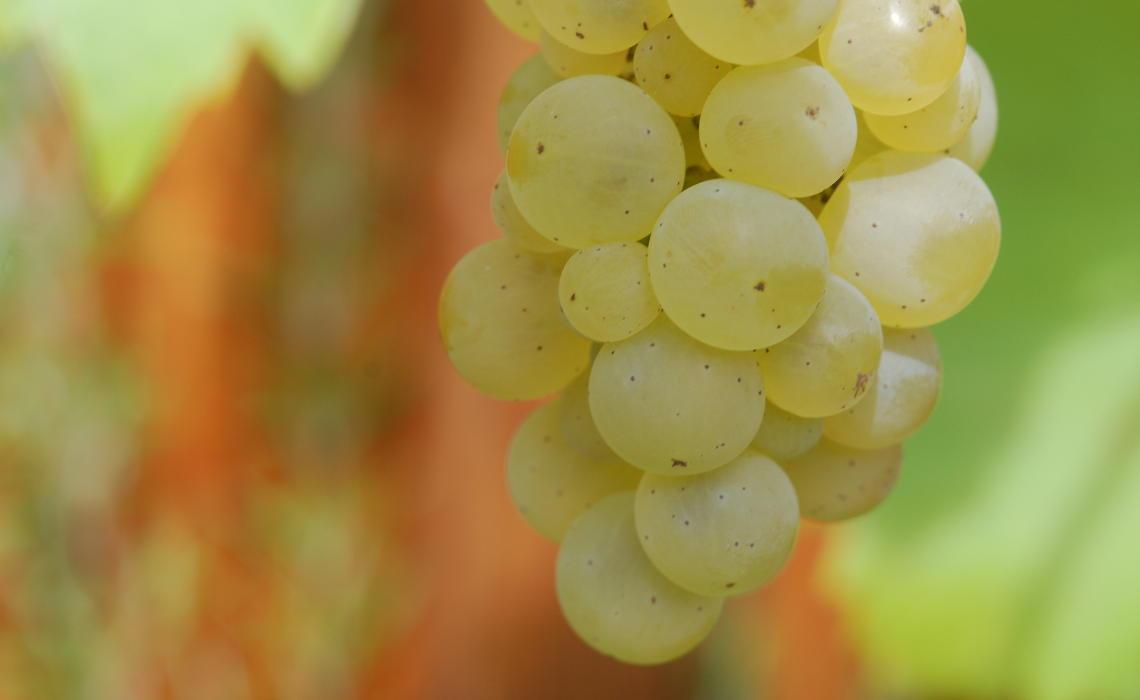 Weintrauben im Detail