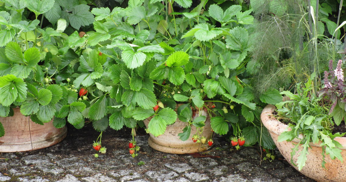 Erdbeeren und Kräuter in Tongefäße gepflanzt