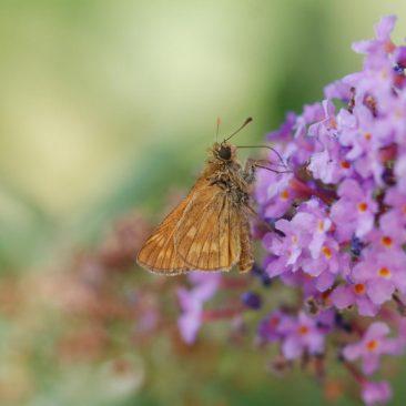 Flieder - Nahrung für Schmetterlinge