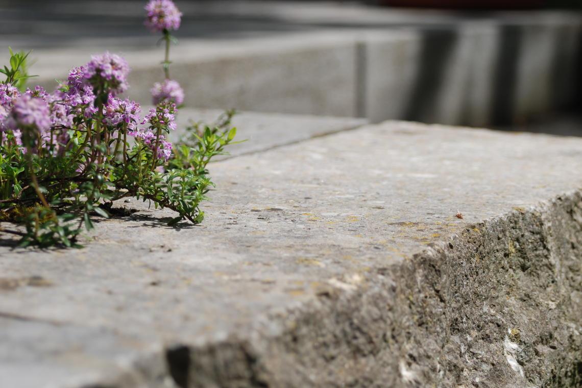 Detailaufnahme Kräuterblüten und Mauersteine